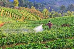 Mężczyzna rozpyla truskawkowej rośliny od Tajlandia Zdjęcie Royalty Free