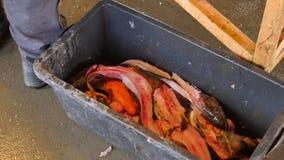 Mężczyzna rzuca krwistego rybiego kośca w plastikowego odpady pudełko Kościec dorsz ryba po usuwać polędwicowego od ryba h zbiory wideo