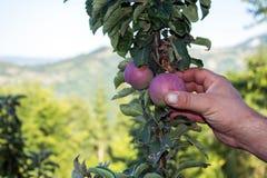 Mężczyzna ` s ręka chwyta jabłka od drzewa Obraz Royalty Free