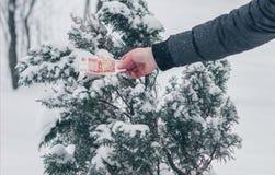 Mężczyzna ` s ręka w popielatej kurtce dostaje pięć tysięcy Rosyjskich rubli banknot od śnieg zakrywającego jałowcowego drzewa Po Obrazy Stock