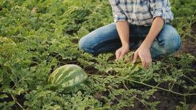 Mężczyzna sprawdza arbuz uprawy przy polem zbiory
