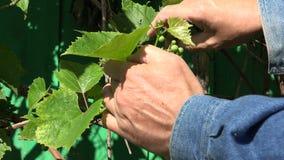 Mężczyzna sprawdza niedojrzałych winogrona, 4K zbiory wideo