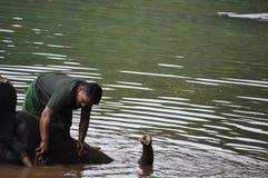 Mężczyzna szczotkuje i myje potomstwa elefant obrazy stock