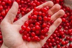 Mężczyzna trzyma dzikich lasowych jagod czerwonego rodzynek Zdrowy łasowanie, jarski jedzenie i ludzie pojęć, - zakończenie w gór obraz royalty free