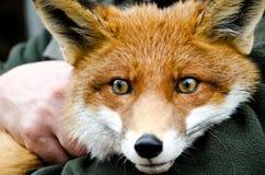 Fox Obrazy Royalty Free
