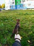 Mężczyzna trzyma niskiego kundla psa na smyczu na trawie w mieście, pierwszy osoba widok Zdjęcia Stock