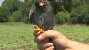 Mężczyzna trzyma ptaka w jego ręce zbiory