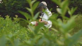 Mężczyzna utrzymuje narzędzie i żyłuje zielonych krzaki w ogródzie zbiory wideo