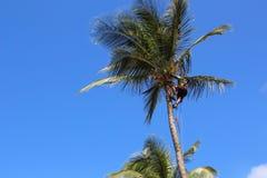 Mężczyzna w drzewku palmowym, Guadeloupe Fotografia Royalty Free