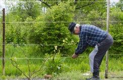 Mężczyzna w kraju podnosi winogrona Zdjęcia Royalty Free