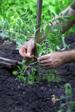 Mężczyzna wiąże up pomidory Obrazy Stock