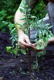 Mężczyzna wiąże up pomidory Fotografia Stock
