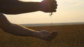 Mężczyzna wręcza nalewać dojrzałe pszeniczne złote adra przy zmierzchem Banatki adra w samiec oddawał nowego żniwo przy polem Jed zbiory