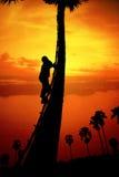 Mężczyzna wspina się cukrowego drzewka palmowego fotografia stock