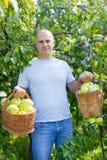 Mężczyzna z koszem zbierający jabłka obraz stock