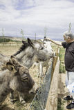 Mężczyzna z osłem Fotografia Royalty Free
