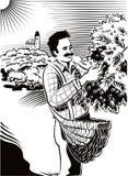 Mężczyzna zbierackie oliwki bezpośrednio na dyszlu ilustracja wektor