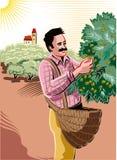 Mężczyzna zbierackie oliwki bezpośrednio na dyszlu royalty ilustracja