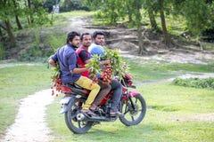 3 mężczyzna zbierackiego lychees od drzewa przy ranisonkoil, thakurgoan, Bangladesz Zdjęcie Royalty Free