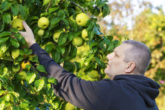 Mężczyzna zrywania jabłka Obrazy Royalty Free