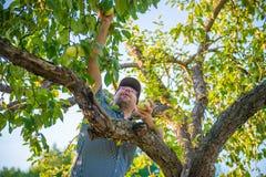 Mężczyzna zrywania jabłka Zdjęcia Stock