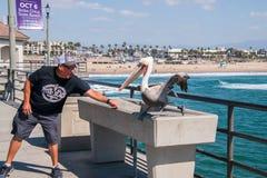 Mężczyzny żywieniowy pelikan na huntington beach molu zdjęcia stock