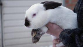 Mężczyzny chwyty w jego rękach Himalajski królik zdjęcie wideo