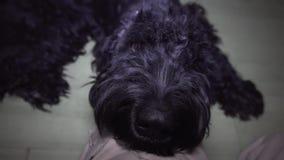 Mężczyzny mand muska dużego czarnego psa zbliżenie zdjęcie wideo
