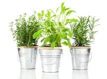 Mędrzec, macierzanki i rozmarynów zielarska roślina, Fotografia Royalty Free