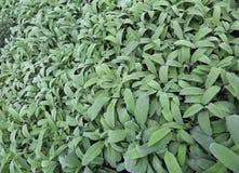 Mędrzec zieleń liść Mędrzec jest aromatycznym zielarskim ideałem doprawiać d Zdjęcie Stock