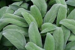mędrzec zieleni żniwa liść przygotowywająca mędrzec Obrazy Stock