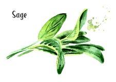 Mędrzec zielone liście świeże Wręcza patroszoną akwareli ilustrację, odizolowywającą na białym background/ Fotografia Royalty Free