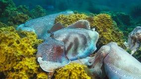 Męscy Australijscy gigantyczni cuttlefish ochrania jego kobiety gdy próbuje kłaść jej jajka podczas kotelnia przesiedleńczego sez zdjęcie royalty free