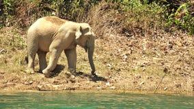 Męscy Azjatyccy słonie w dzikim, Elephas maximus Obraz Royalty Free