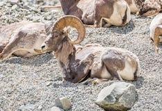 Męscy bighorn cakle na zboczu góry zdjęcie royalty free