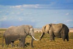 Męscy i żeńscy afrykanina Bush słonie Obraz Stock
