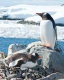 Męscy i żeńscy Gentoo pingwiny blisko gniazdeczka. Fotografia Royalty Free