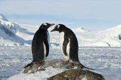 Męscy i żeńscy Gentoo pingwiny na skłonie. Zdjęcia Royalty Free