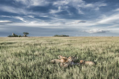 Męscy i żeńscy lwy je zebry w Serengeti parku narodowym Fotografia Royalty Free