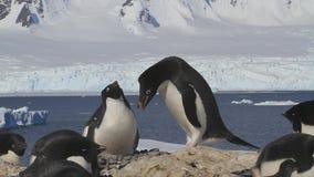 Męscy i żeńscy pingwiny Adelie wita each inny blisko gniazdeczka na tle lodowowie zbiory