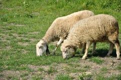 Męscy i żeńscy sheeps Zdjęcia Royalty Free