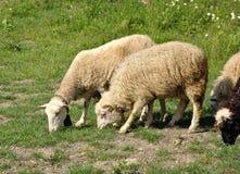 Męscy i żeńscy sheeps Obraz Stock
