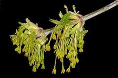 Męscy kwiaty klonowy popiół Fotografia Royalty Free