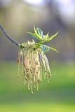 Męscy kwiaty klonowy popiół Fotografia Stock