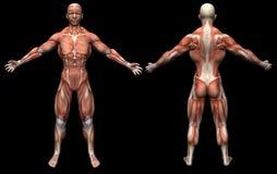 męscy mięśnie Zdjęcia Royalty Free