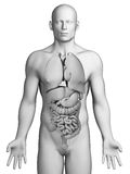 Męscy organy ilustracji