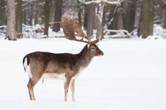 Męscy ugorów rogacze w zimie Zdjęcia Royalty Free