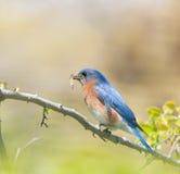 Męscy Wschodni Bluebird przewożenia insekty Zdjęcia Stock