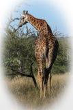 Męska żyrafa Fotografia Stock