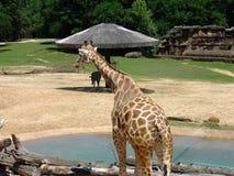 Męska żyrafa przy zoo Obrazy Royalty Free